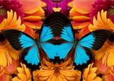 Обложка на автодокументы без уголков, Герберы и бабочка