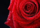 Обложка на паспорт без уголков, роза